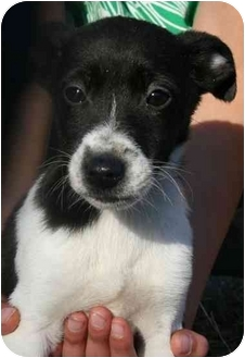 Jack Russell Terrier Mix Puppy for adoption in Harrisonburg, Virginia - Trixie Treat