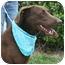 Photo 4 - Doberman Pinscher/Labrador Retriever Mix Dog for adoption in Marion, Arkansas - Hazel:FOSTER NEEDED
