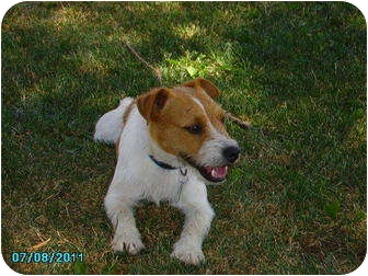 Jack Russell Terrier Dog for adoption in Harrah, Oklahoma - Neo