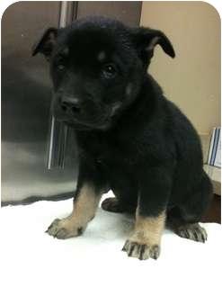 Rottweiler/Australian Shepherd Mix Puppy for adoption in Houston, Texas - Vixen