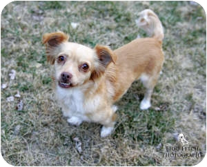 Chihuahua/Shih Tzu Mix Dog for adoption in Shawnee Mission, Kansas - Spice Girl