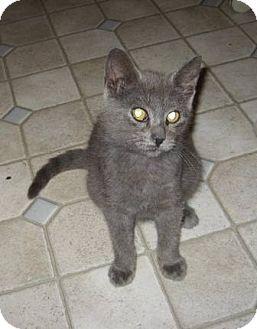 Domestic Shorthair Kitten for adoption in Kirkwood, Delaware - Grayson