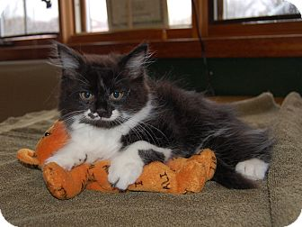 Domestic Mediumhair Kitten for adoption in North Judson, Indiana - Minnie