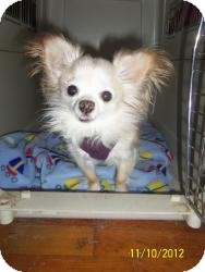 Chihuahua Dog for adoption in Shawnee Mission, Kansas - Lilly White