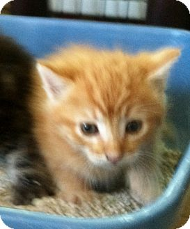 Domestic Shorthair Kitten for adoption in Brea, California - SHANIA
