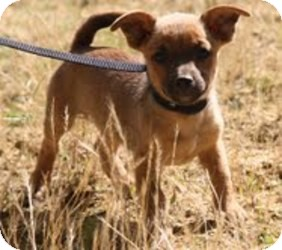 Chihuahua/Jack Russell Terrier Mix Puppy for adoption in Plainfield, Connecticut - Shiloh (In New England)