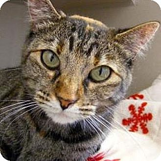Domestic Shorthair Cat for adoption in Denver, Colorado - Autumn