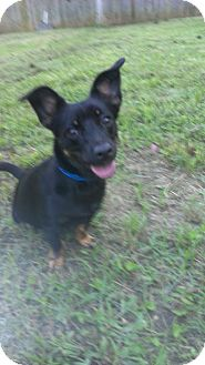 Dachshund/Miniature Pinscher Mix Dog for adoption in Waterbury, Connecticut - Rocky