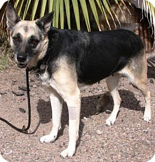 German Shepherd Dog Mix Dog for adoption in Gilbert, Arizona - Loba