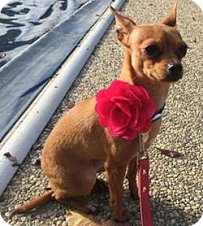 Chihuahua Mix Dog for adoption in Hollister, California - Cheyenne