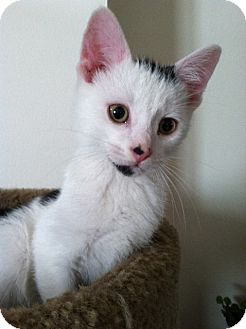 Domestic Shorthair Kitten for adoption in Trevose, Pennsylvania - Snoopy