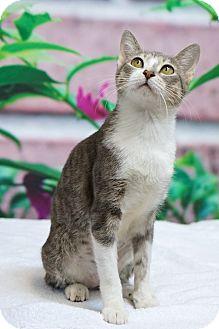 Domestic Shorthair Cat for adoption in Houston, Texas - Eisley