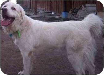 Great Pyrenees Dog for adoption in Brigham City, Utah - Hannah