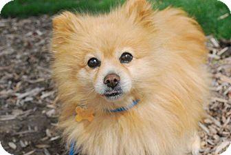 Pomeranian Dog for adoption in Twin Falls, Idaho - Wilbur