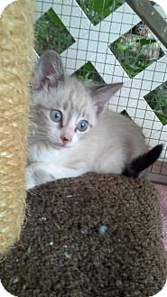 Siamese Kitten for adoption in Scottsdale, Arizona - DUFFY-Coming Soon!!