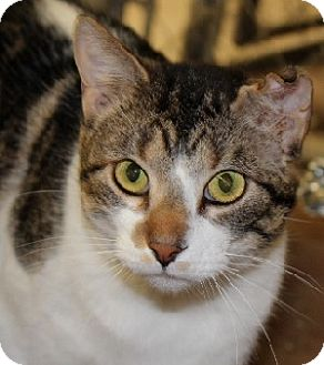 Domestic Shorthair Cat for adoption in Savannah, Missouri - Matthew