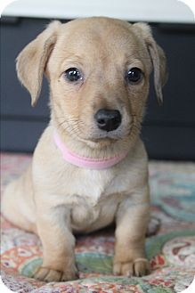 Dachshund/Chihuahua Mix Puppy for adoption in Allentown, Pennsylvania - Catalina