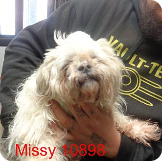 Lhasa Apso Mix Dog for adoption in Manassas, Virginia - missey