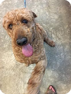 Poodle (Standard) Mix Dog for adoption in Bowmanville, Ontario - Jag