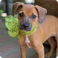 Adopt A Pet :: Sheldon - Baton Rouge, LA