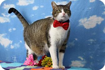 Domestic Shorthair Cat for adoption in Voorhees, New Jersey - Gio