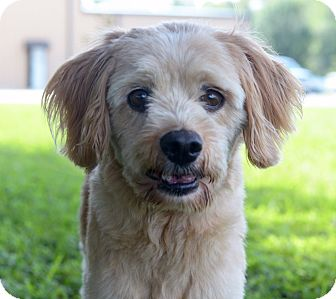 Cocker Spaniel/Poodle (Miniature) Mix Dog for adoption in LAFAYETTE, Louisiana - PAPOOSE