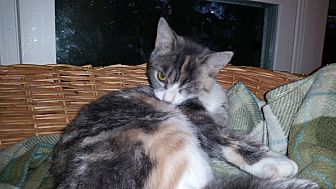 Domestic Shorthair Cat for adoption in MADISON, Ohio - Porsha