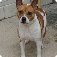Adopt A Pet :: Sheeba - Peace Dale, RI