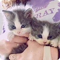 Adopt A Pet :: Sting and Garfunkel - Palatine, IL