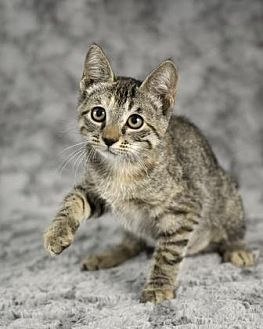 Domestic Shorthair Cat for adoption in Gainesville, Florida - Sunspot