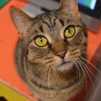 Adopt A Pet :: Precious Pancake - Oshkosh, WI