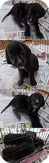 Labrador Retriever Mix Puppy for adoption in Chantilly, Virginia - Tracey's Toby