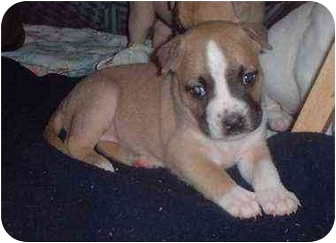 American Pit Bull Terrier Mix Puppy for adoption in Bakersfield, California - Stormy