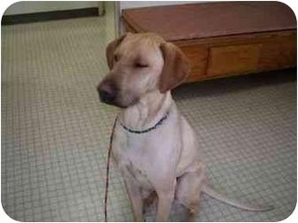 Labrador Retriever Mix Dog for adoption in San Diego, California - BILLY