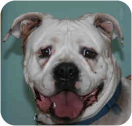 American Bulldog Dog for adoption in Flint, Michigan - Breezy
