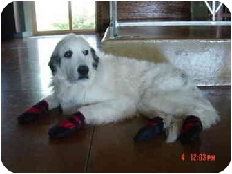 Great Pyrenees Dog for adoption in Mesa, Arizona - Sarah