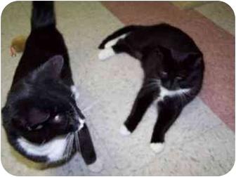 Domestic Shorthair Kitten for adoption in Bristol, Rhode Island - Holly
