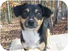 Chihuahua/Feist Mix Dog for adoption in Portland, Maine - Scruffy