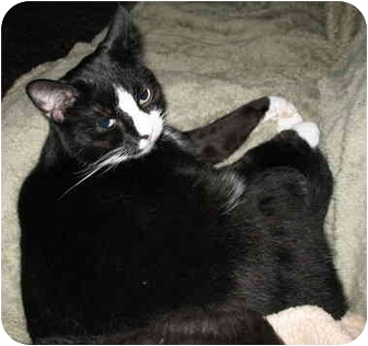 Domestic Shorthair Cat for adoption in Cincinnati, Ohio - Lucky