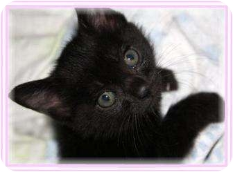 Domestic Shorthair Kitten for adoption in Sugar Land, Texas - -Meg
