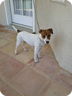 Jack Russell Terrier Dog for adoption in Austin, Texas - Jackie in ElPaso