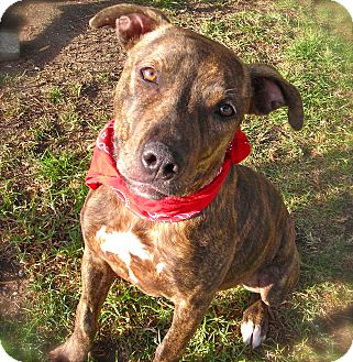 Pit Bull Terrier Mix Dog for adoption in El Cajon, California - Nicole