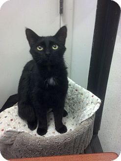 Domestic Shorthair Cat for adoption in Daytona Beach, Florida - Gimlet