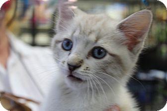 Snowshoe Kitten for adoption in Santa Monica, California - Kitty 5