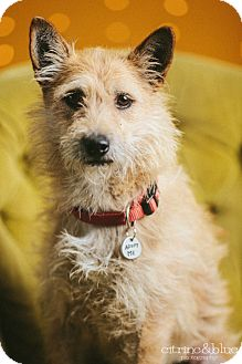 Cairn Terrier Mix Dog for adoption in Portland, Oregon - Katie