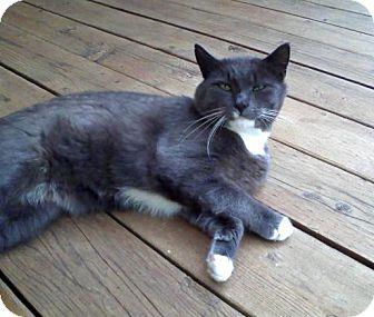 Manx Cat for adoption in Duncan, British Columbia - Tux
