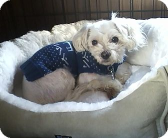 Maltese Dog for adoption in Oak Ridge, New Jersey - LaLa