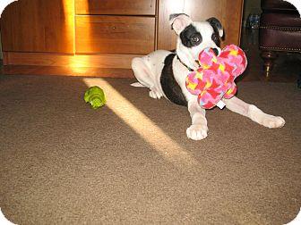 American Bulldog/Australian Shepherd Mix Puppy for adoption in Lombard, Illinois - Moo