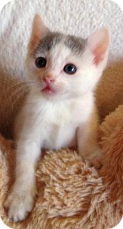 Domestic Shorthair Kitten for adoption in Fort Worth, Texas - Hudson