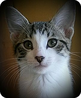 Domestic Shorthair Kitten for adoption in McHenry, Illinois - Coca